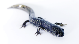 U.S. Salamanders Threatened by Deadly Fungus