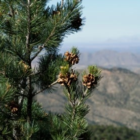pinon pine, pinyon pine