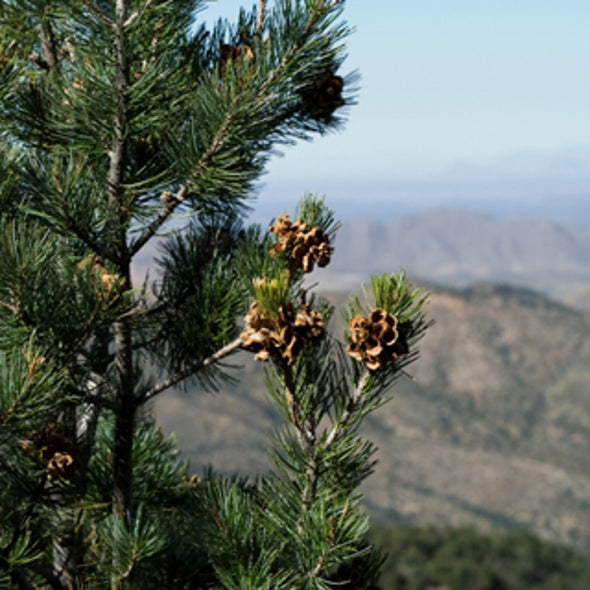 Global Warming May Leave U.S. Southwest Pining for Pinyons