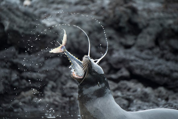 View to a Kill: Galápagos Sea Lions Team Up to Capture Huge Tuna