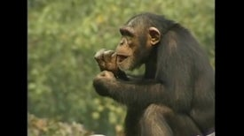 Chimps Choose Friends Like Themselves, Says Study