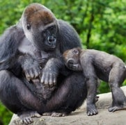 Fossils Shed New Light on Human-Gorilla Split