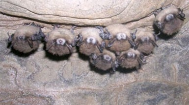 What's Causing Bats to Drop Like Flies?