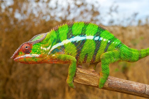 The Secret to Chameleons' Ability to Change Color