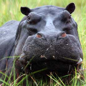 """""""Highly Mobile"""" Testicles Frustrate Effort to Calm Hippos in Captivity"""