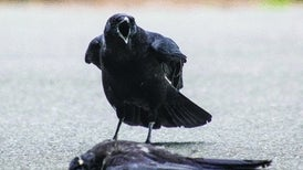 Some Crows Hit On Dead Companions