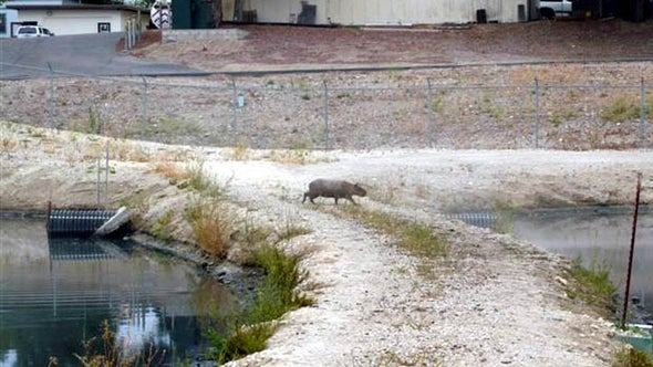 Pig-Size South American Rodent Spotted in Central California