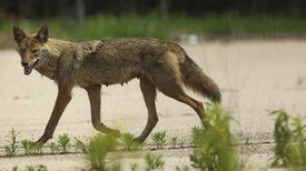 Urban Coyote Evolution Favors the Bold