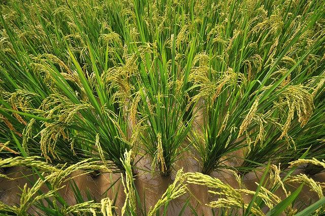 Rice Farming Linked to Holistic Thinking