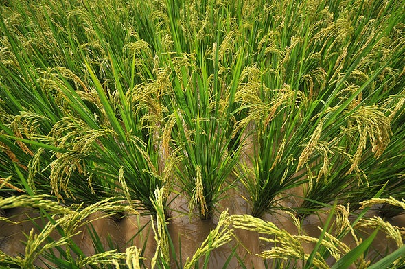 Rice Farming Linked to Holistic Thinking