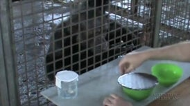 Chimps Want Us to Cook Their Food