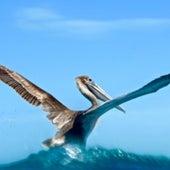 Pelican,