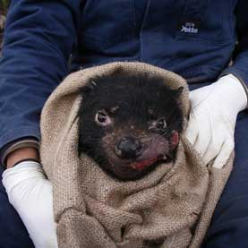 How the Contagious Tasmanian Devil Cancer Eludes Detection