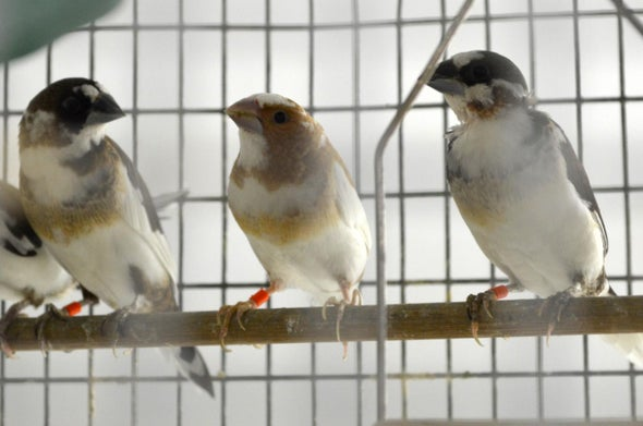 Finches Can Learn to Sing Differently Than Their Genetics Dictate