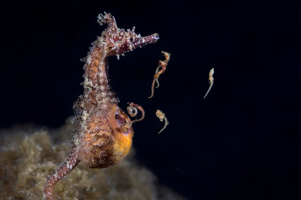 See a Male Seahorse Give Birth