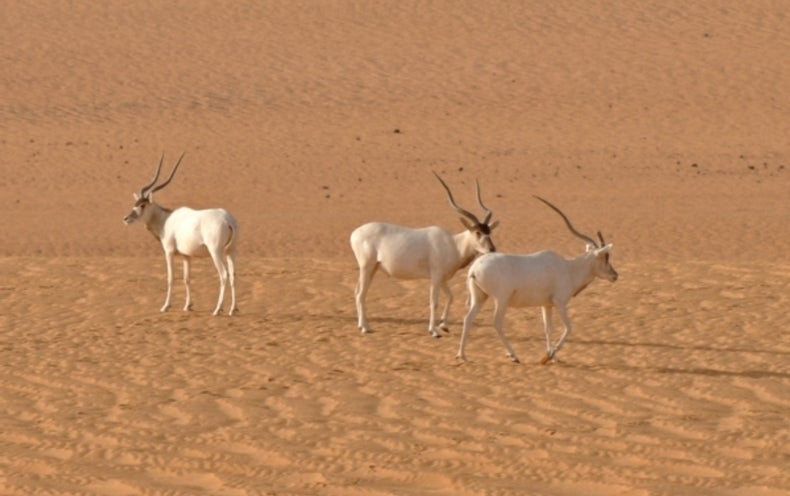 Only Three Addax Antelopes Left in the Wild?