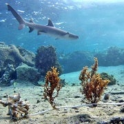 Sharks Rule the Reef's Underwater Food Chain