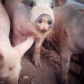 Pig-Manure Fertilizer Linked to Human MRSA Infections
