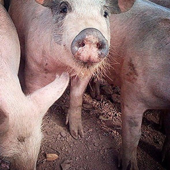 Pig-Manure Fertilizer Linked to Human MRSA Infections