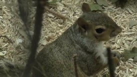 Gray Squirrels Stay Flexible When Foraging