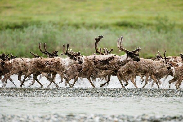 Drilling Could Cause Extinctions in Alaskan Refuge, Government Plan Says