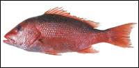 Marketplace Red Snapper Is Case of Bait and Switch