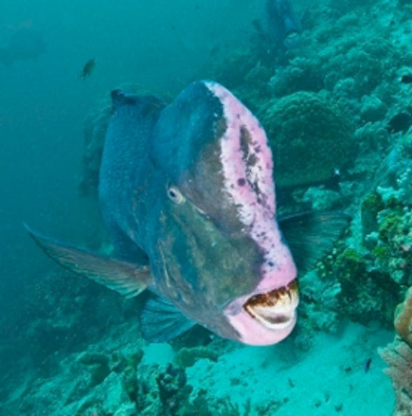 Giant Reef Fish Head-Butt Rivals for Sex