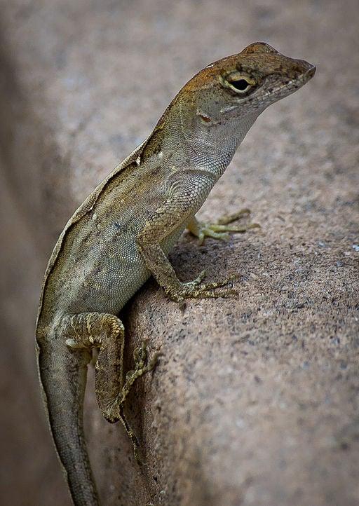 Speedy Lizard Outraces Global Warming