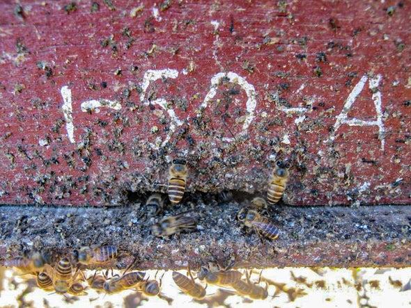 Bees Use 'Bullshit' Defense to Keep Giant Hornets at Bay