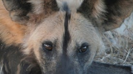 Don't Fence Me In: Researchers Devise Bio-Boundary for African Wild Dogs