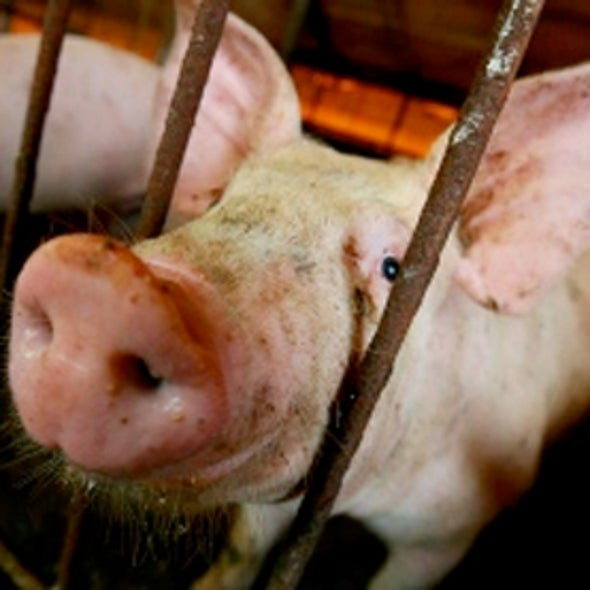 Pig Flu Virus Strain Shown to Have Pandemic Potential