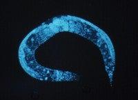 Worm Genome Survey Reveals Fat-Regulating Genes