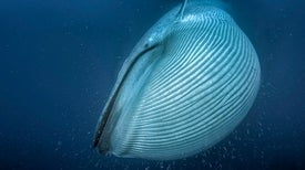 Living Large: How Whales Got to Be So Enormous
