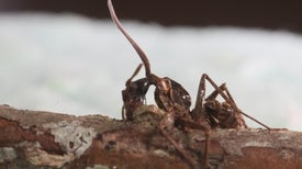 "Investigating the Zombie Ant's ""Death Grip"""