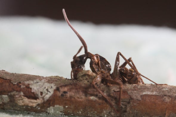 """Investigating the Zombie Ant's """"Death Grip"""""""