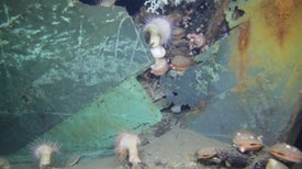 Deepwater Horizon Spill Altered Shipwreck Ecosystems