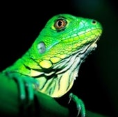 GREEN IGUANA: