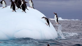 Penguin Poop Helps Biodiversity Bloom in Antarctica