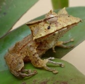 RARE FROGS ARE AMONG THE FIRST TO GO