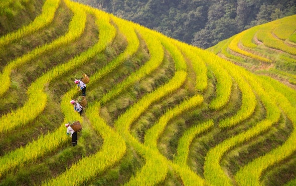 As CO2 Levels Rise, Rice Becomes Less Nutritious