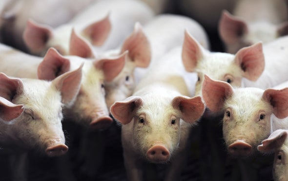 Seeking Pig Organs for Human Transplants