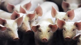 Seeking Pig Organs for Human Transplants