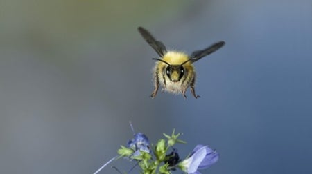 Bumblebees' Self-Image Gets Them through Tight Spots