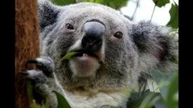 Throat Organ Reveals Depth of Koala Love