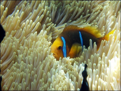 Chatty Clownfish