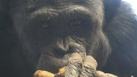 NIH Will Curb Research on Chimps
