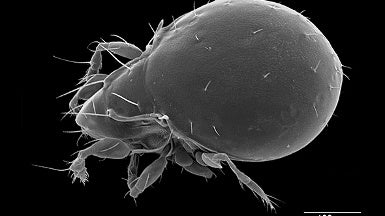 Tiny Mite Uses Cyanide to Fight Predators