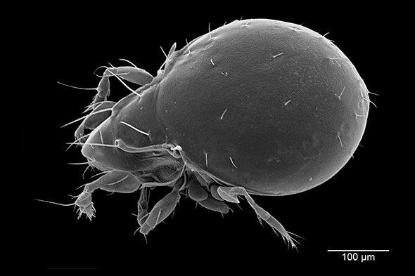 Tiny Mite Uses Cyanide to Fight Predators