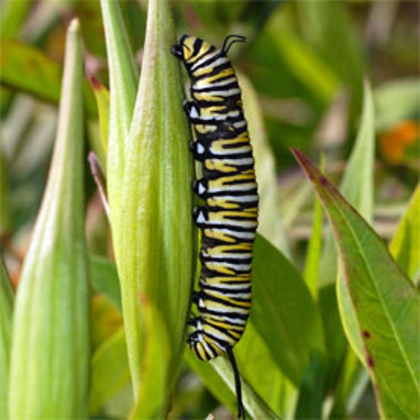 Monarch Larva Monitoring Project