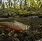 Brook trout: